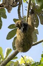 巴西三趾树懒